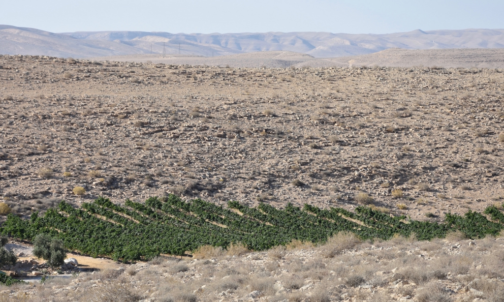 Vineyards at Carmey Avdat Farm, one of the most inhospitable areas in the desert of Negev, but only seemingly so (translated into English by Slawka G. Scarso)