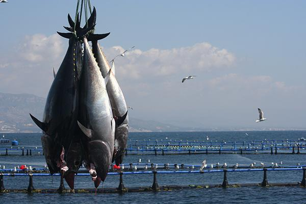 Four specimen of his majesty the red tuna, caught in the waters of Amettla de Mar in Catalu�a by Balfeg�, fifth generation of fishermen and first and only company in the world that can offer fresh Thunnus thynnus all year round. In Italy, they are distributed by Longino & Cardenal