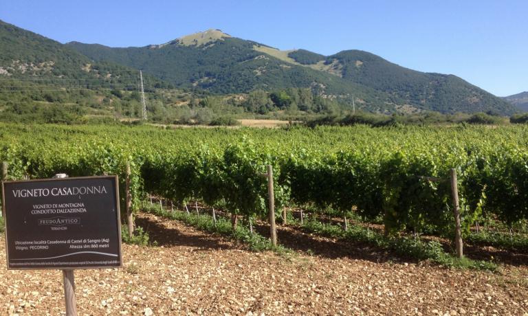 The heroic vineyard of pecorino in Casadonna
