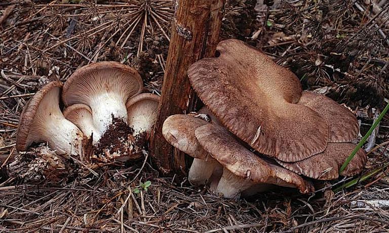 A photo of the wild cardoncelli mushrooms (king trumpets) that the chef at Locanda Severino in Caggiano (Salerno), Vitantonio Lombardo, will present in October at Identit� New York