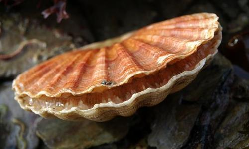 A specimen of pecten maximus, the giant scallops from Northern Europe: they have a maximum of 15 cm and 15-17 rays. A precious food, always fashionable, the shells of Saint Jacques are named after the Saint venerated by the pilgrims to Santiago de Compostela (photo www.aphotomarine.com)