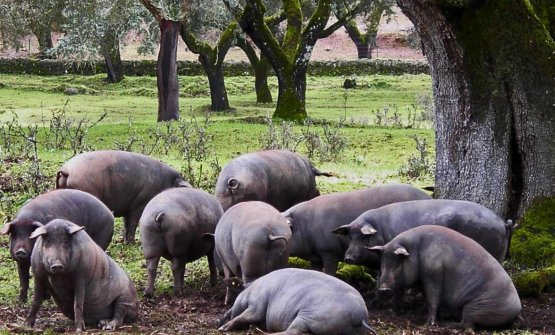 Joselito pigs roaming free in the dehesa. The famous Spanish brand of ham turned 150 years old