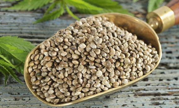 "Cannabis sativa is experiencing an increasing use in the kitchen, through oil or flour made with hemp seeds. As it is gluten free, hemp can also be used in pasta, pizza and ice creams too. Piedmontese taste ""diviner"" Antonio Strumia, gave us a useful list of addresses to better understand this domain"